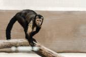 Selektiver Fokus von Schimpansen im Zoo