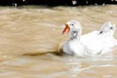 Fotografie white duck swimming in pond in zoo