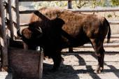 bölény az állatkertben az etetővályú közelében