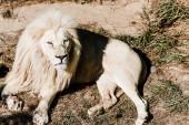 dangerous white lion lying on grass outside