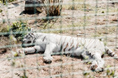 Photo selective focus of white tiger sleeping near cage in zoo