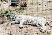 szelektív fókusz fehér tigris alszik közelében ketrec állatkertben