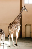 sunlight on tall giraffes standing in zoo