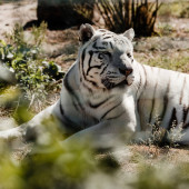 selective focus of white tiger lying on ground outside