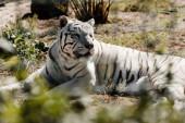 selektivní zaměření bílého tygra spočívajícího na zemi venku