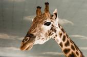 aranyos és magas zsiráf az állatkertben