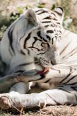 white tiger licking fur while lying on ground