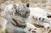 szelektív fókusz fehér tigris feküdt ketrec közelében állatkertben