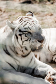 Photo selective focus of dangerous white tiger lying near cage in zoo