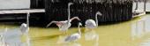 panorámás lövés rózsaszín flamingók a tó közelében épület