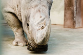 selective focus of rhino with big horn in zoo