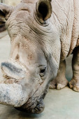 Photo close up of rhino with big horn in zoo