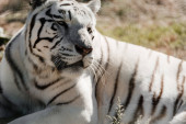 Photo selective focus of white tiger lying outside in zoo