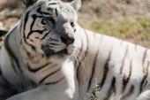 Selektiver Fokus weißer Tiger im Zoo