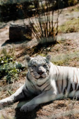 selective focus of white tiger lying on grass near cage
