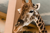 Photo cute and tall giraffe with long neck and horns in zoo