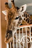 selektivní zaměření roztomilé a vysoké žirafy s dlouhým krkem v blízkosti plotu v zoo