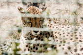 Photo selective focus of leopard resting on grass near cage