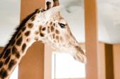szelektív fókusz magas zsiráf hosszú nyak és szarvak állatkertben
