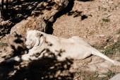 Photo shadows near dangerous lioness lying outside