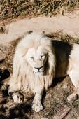 dangerous white lion lying on ground near grass outside
