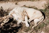 Fotografie bílý lev spí na zelené trávě venku