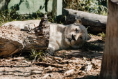 Photo lioness resting near wooden fence outside
