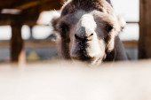 Photo selective focus of cute camel in zoo