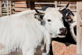 Fotografie white bulls standing outside in zoo