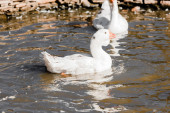 selective focus of white ducks swimming in pond
