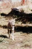 dangerous wolf walking on grass outside in zoo