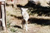 veszélyes farkas sétál a fűben az állatkertben