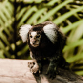 selective focus of cute marmoset monkey in zoo