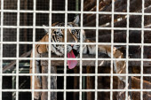 Selektiver Fokus des im Käfig liegenden Tigers