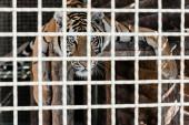 szelektív fókusz veszélyes tigris fekszik ketrecben