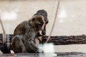 selective focus of cute monkey eating cookie in zoo
