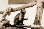 selective focus of cute monkey holding coconut in zoo