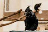 selektivní zaměření černé opice sedí v zoo