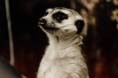 Selective focus of cute meerkat in zoo stock vector