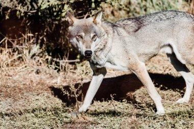 Dangerous wolf walking on ground outside stock vector