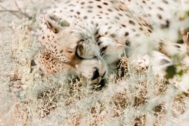 Selective focus of leopard sleeping on grass near cage stock vector