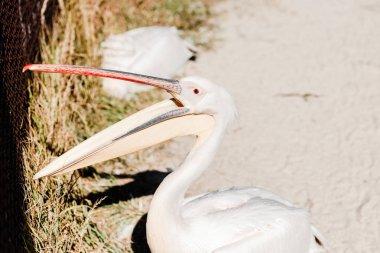 selective focus of pelican with big beak screaming in zoo
