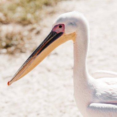 wild pelican with big beak in zoo