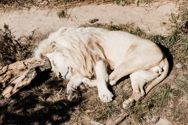 white lion sleeping on green grass outside