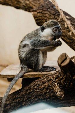 Selective focus of cute monkey eating baked potato stock vector