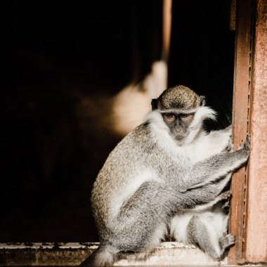 Cute chimpanzee sitting in zoo stock vector