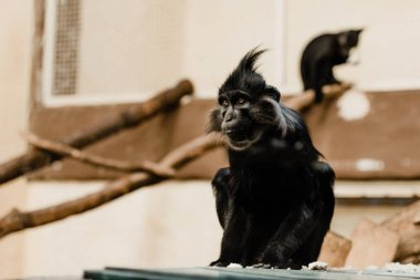 selective focus of black monkey sitting in zoo
