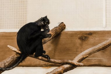 selective focus of cute black ape sitting on wooden log