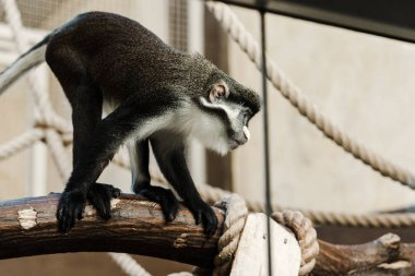 selective focus of cute monkey near ropes sitting on wooden log