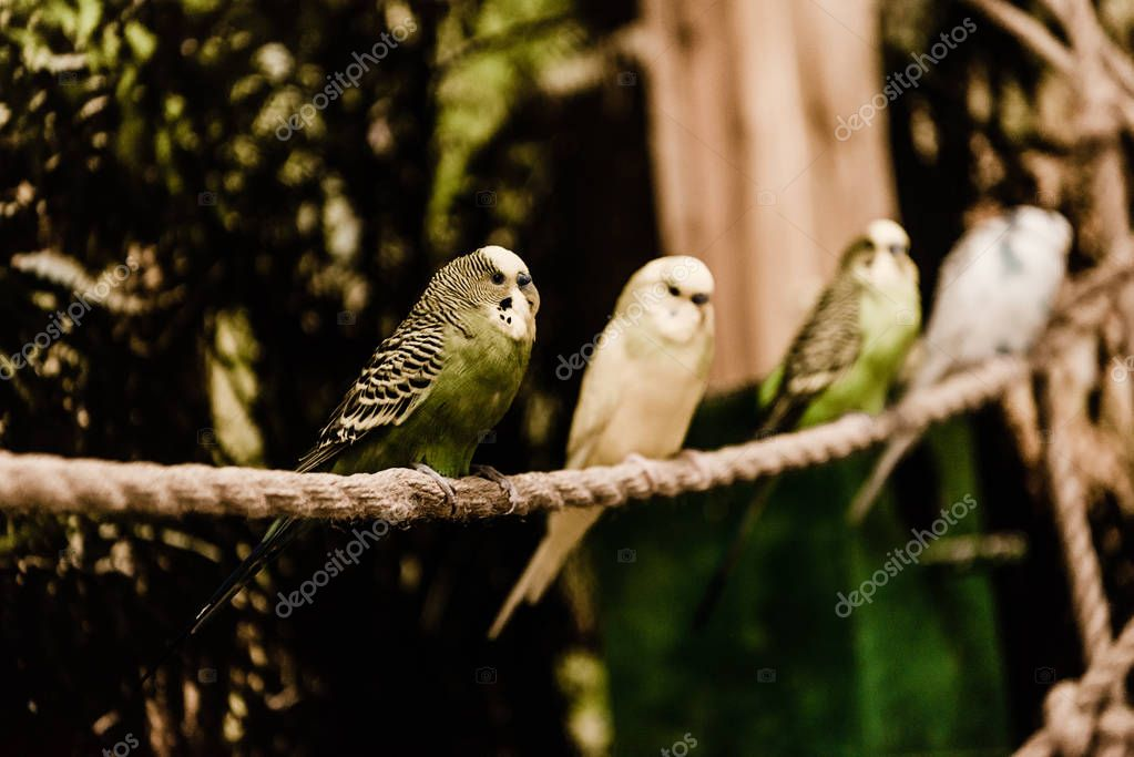 Selective focus of parrots sitting on rope in zoo stock vector